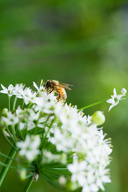 Honey Bee on a small chive flower stock photo