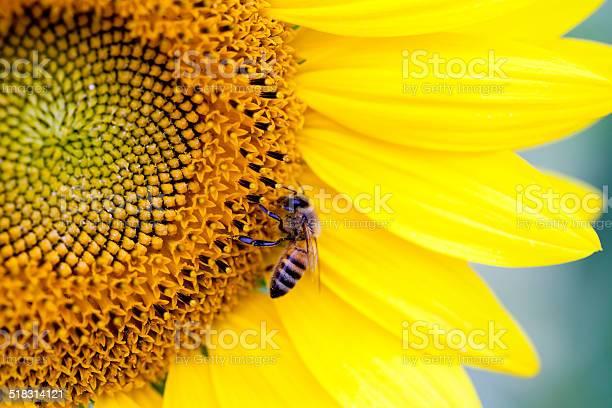 Photo of Honey bee on a sunflower