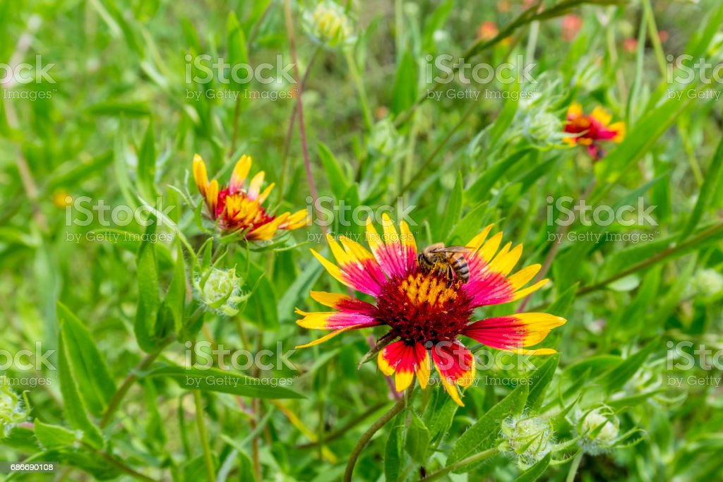 Honey Bee on a Texas Indian Blanket (or Fire Wheel)  Wildflower stock photo