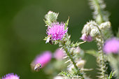 thistle with many little blossoms