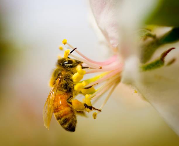 Honey Bee op een appel bloesem foto