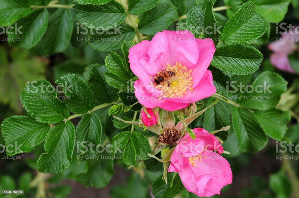 Honigbiene am Strand rose Blume – Foto
