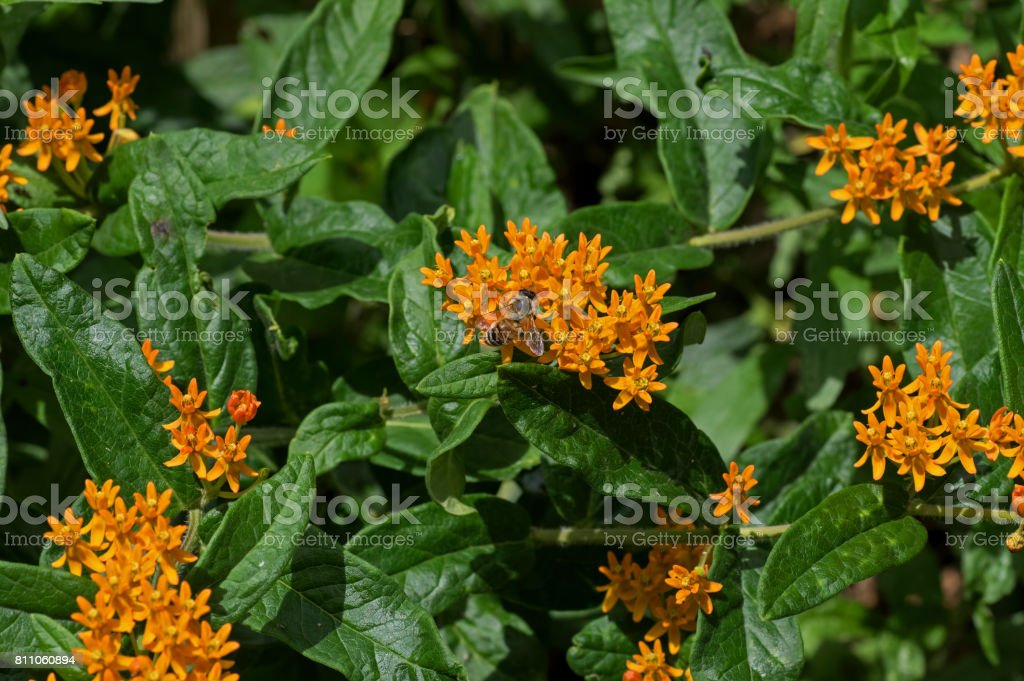 Honey Bee on Butterfly Weed stock photo