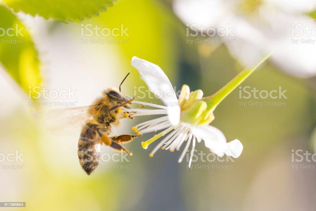 Honey Bee on Cherry Blossom stock photo