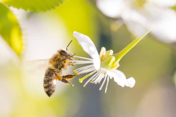 honey bee on cherry blossom - ape domestica foto e immagini stock