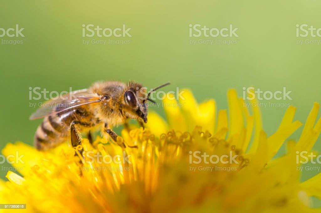 Honey bee on dandelion stock photo