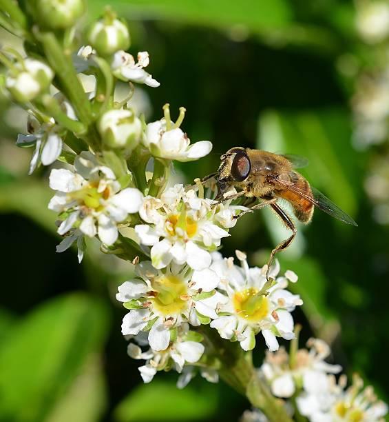 honig biene auf blüte nahaufnahme - wilde hilde stock-fotos und bilder