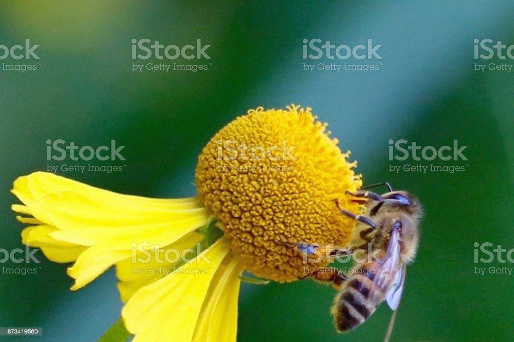 Honey Bee on Flower in Ray of Light stock photo