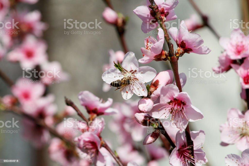 Abelha na flor flor de pêssego, temporada de primavera. fruta de árvore floresce. Flores, brotos e ramos da árvore de pêssego, na primavera. Floração das árvores e do ambiente natural. Fundo e papel de parede. - foto de acervo