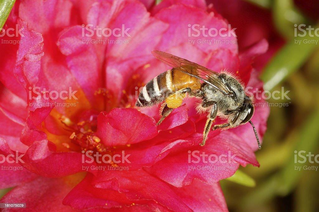Honey Bee on Flower royalty-free stock photo