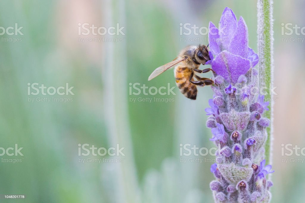 Honey bee on French Lavender (Lavandula stoechas) stock photo