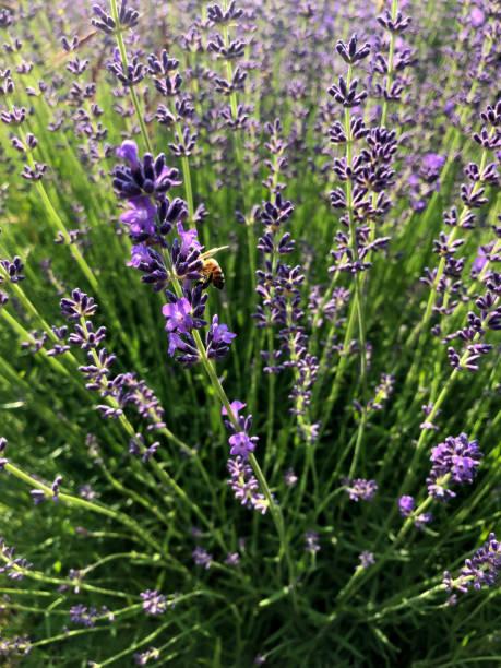 Honey bee on fresh lavender flower stock photo