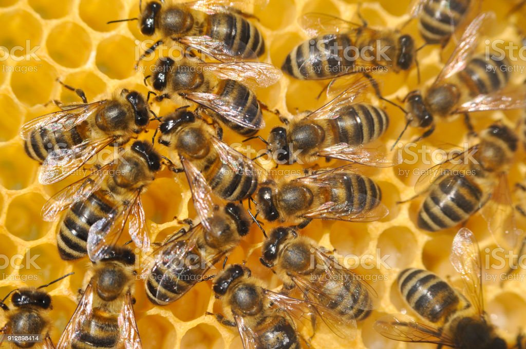 Honey Bee on honeycomb stock photo