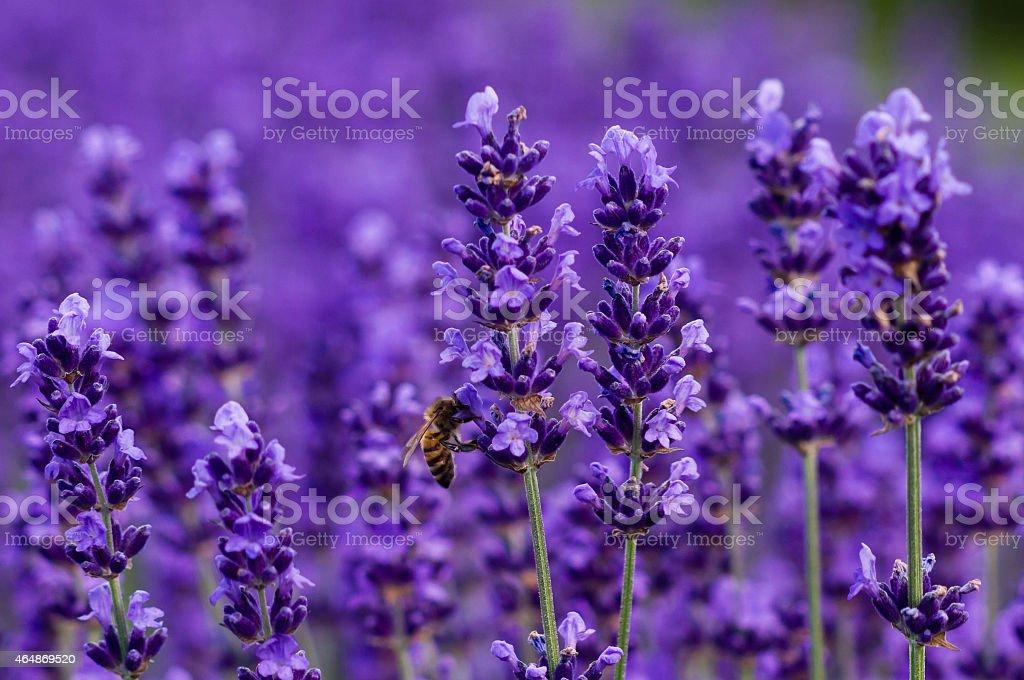 Honey bee on lavender stock photo