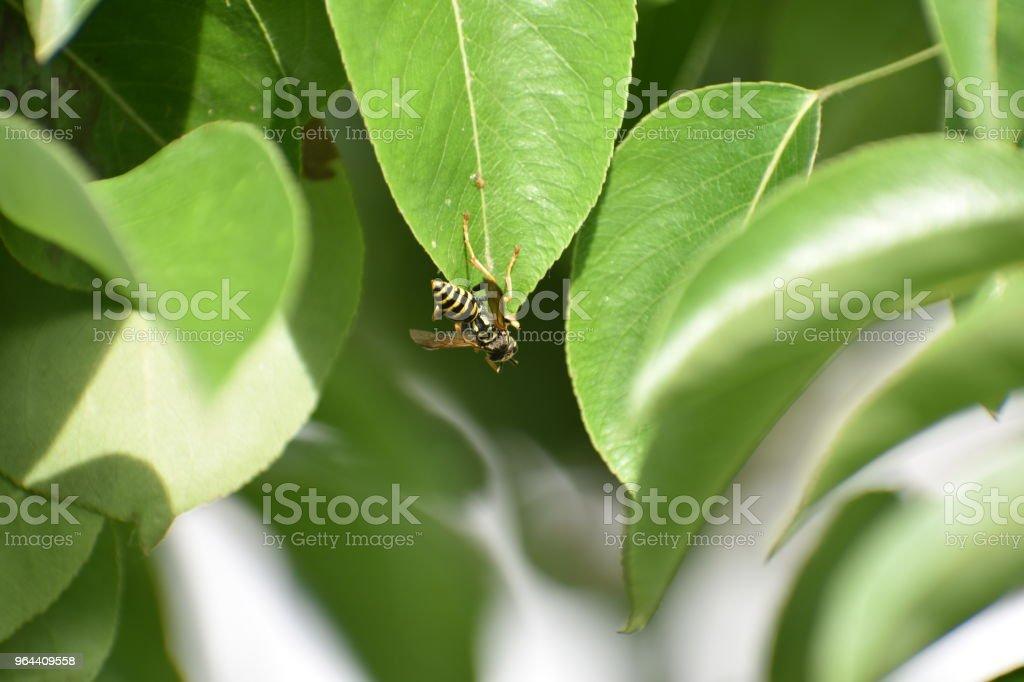 Honey Bee op blad - Royalty-free Bestuiving Stockfoto