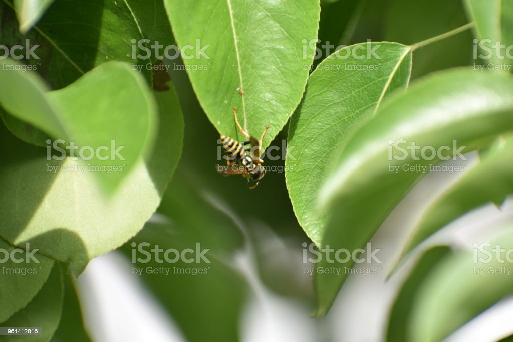 Honey Bee On Leaf - Royalty-free Apiculture Stock Photo