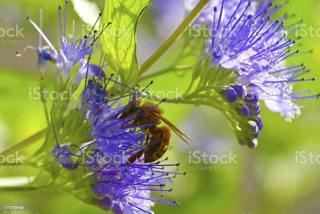 Honey Bee on lilac flowers stock photo