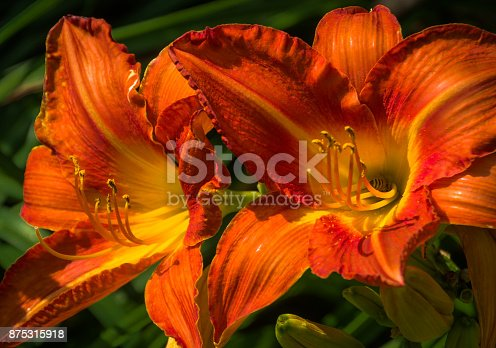 A tiny honey bee collects pollen from the center of an orange day lily in full bloom.