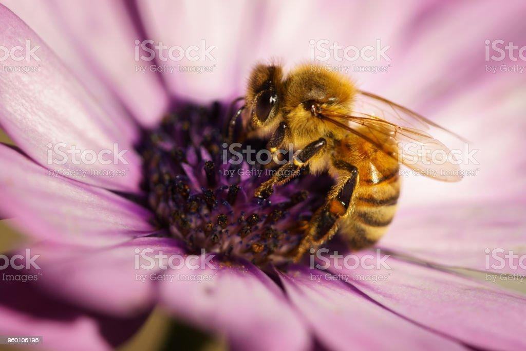 Honey Bee on Osteospermum Cape daisy purple flower. stock photo