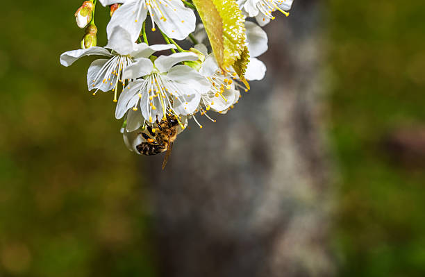 Honey Bee on Plum Blossoms - foto stock