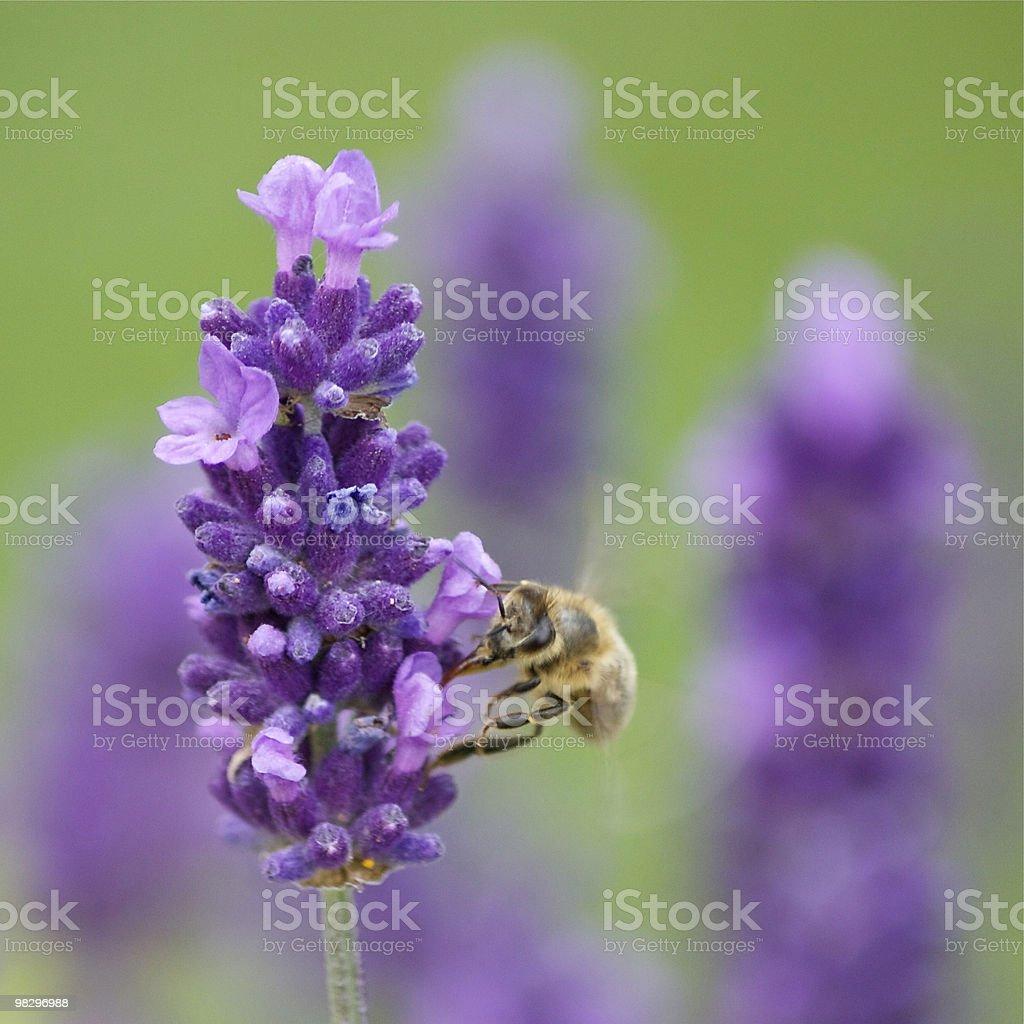 꿀벌 on 퍼플 플라워 royalty-free 스톡 사진