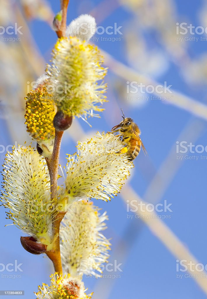 Honey Bee on Pussy Willow royalty-free stock photo
