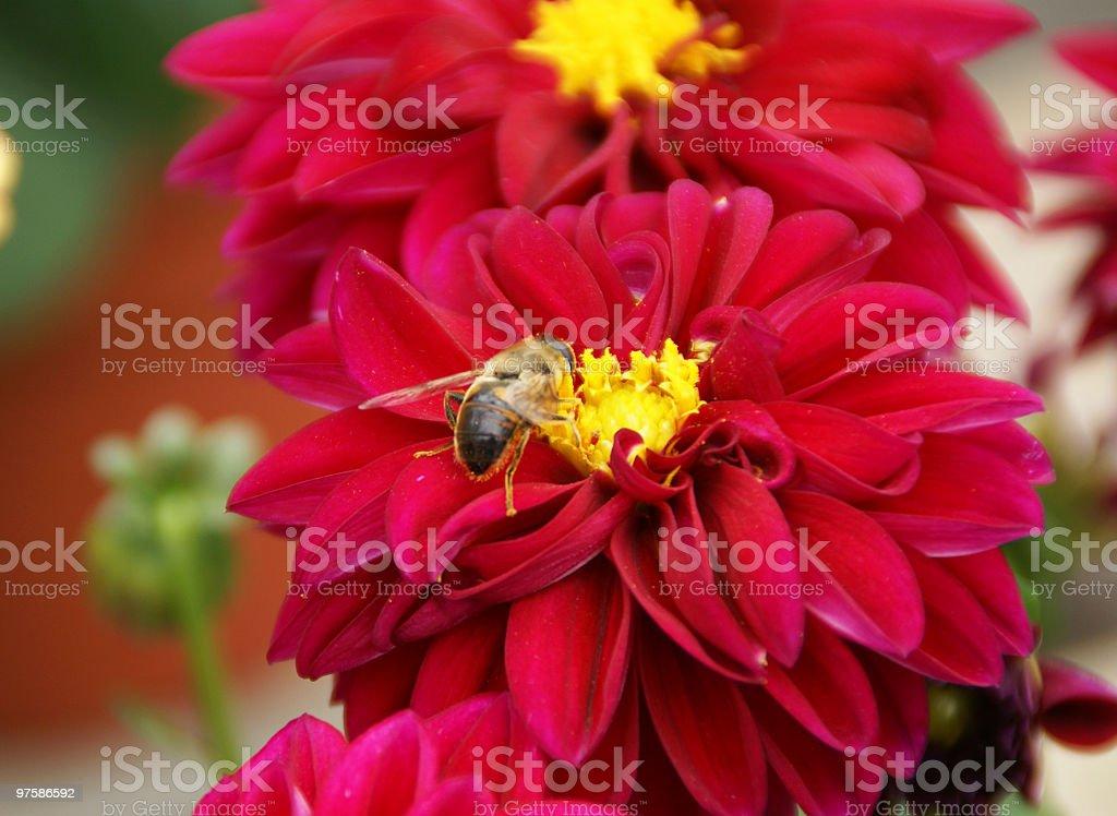 Honey Bee on Red Dahlia royalty-free stock photo