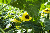 Small yellow sunflower hidden under large leaves with a pollen covered honey bee
