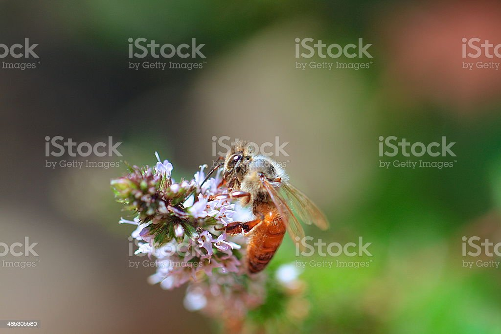 Honey bee on spearmint blooom