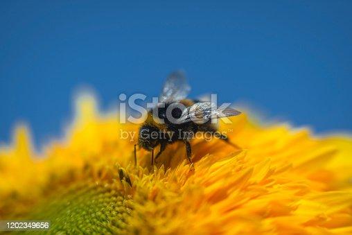 Honey bee picking up pollen on sunflower
