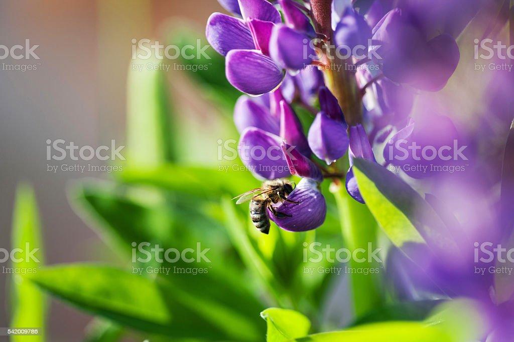 Honey bee on the lupine - foto de stock