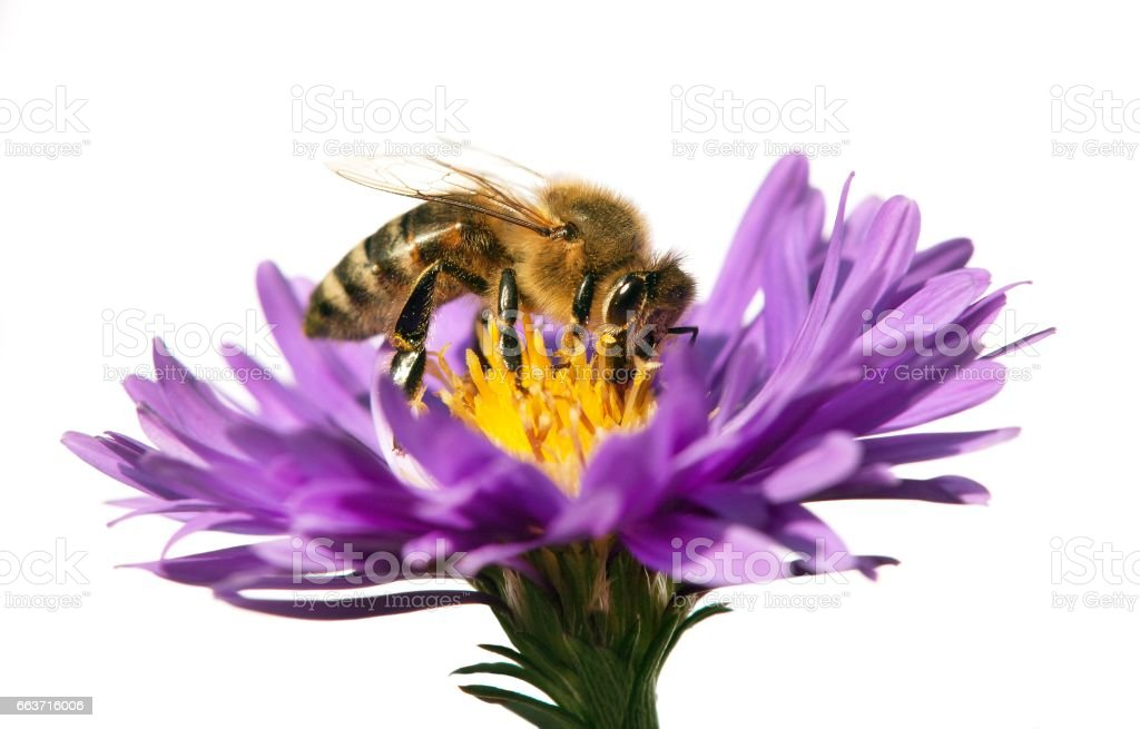 Fotografía De Miel De Abeja Sobre Flor Violeta Aislado