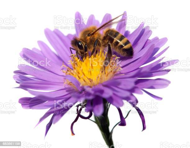 Honey bee on violet flower isolated on white background picture id683861158?b=1&k=6&m=683861158&s=612x612&h=xw9wb9laaksqqlqpgahjkx7pikjz5p3uawk usrvoz4=