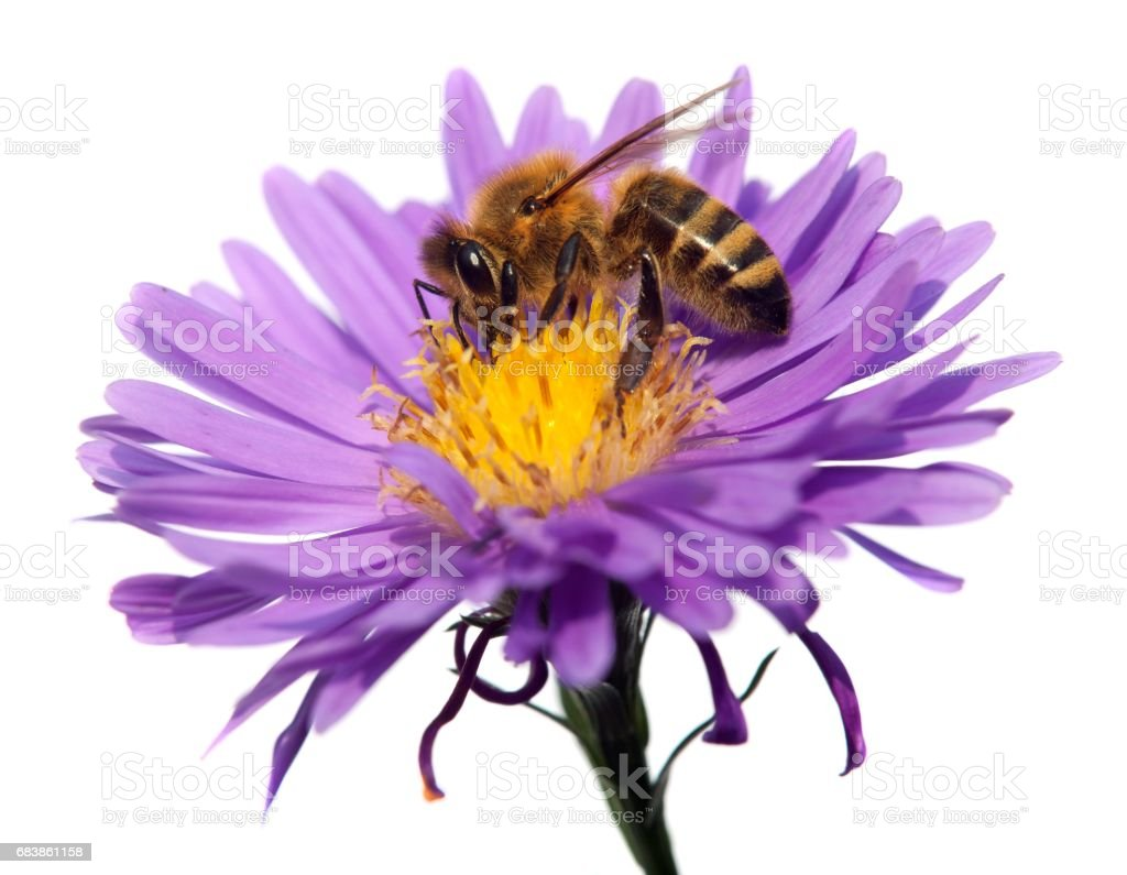 honey bee on violet flower isolated on white background stock photo