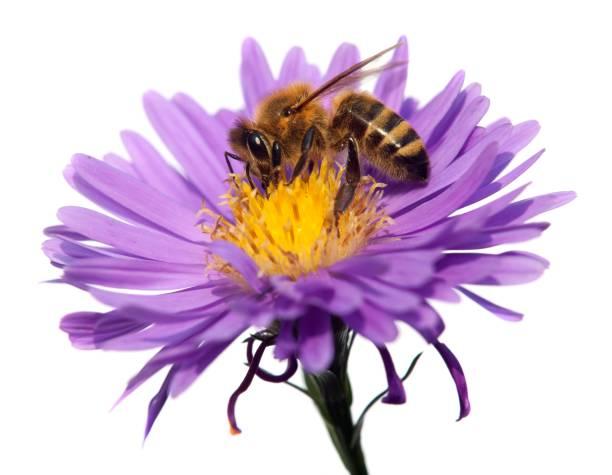 abeille de miel sur la fleur violette d'isolement sur le fond blanc - Photo