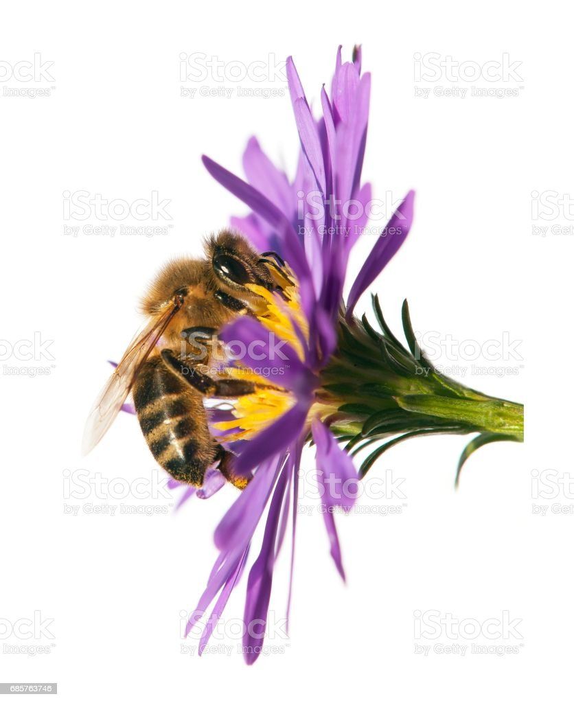 honey bee on violet flower isolated on white background foto stock royalty-free