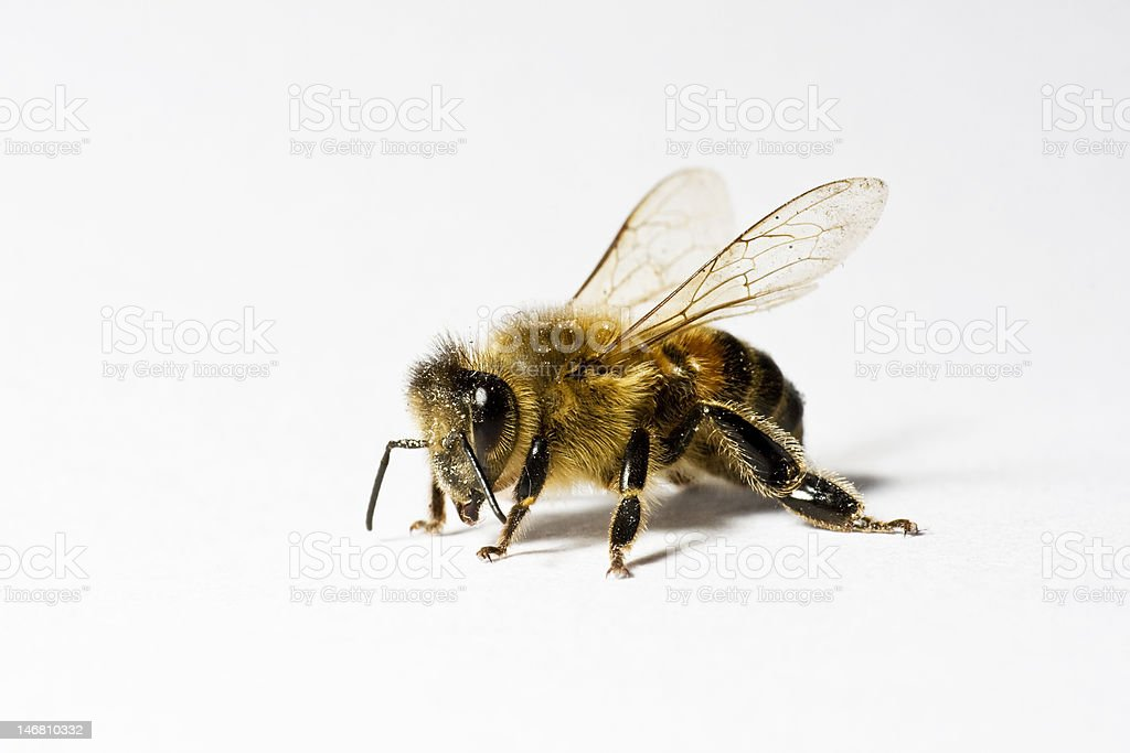 Honey Bee on white backround stock photo
