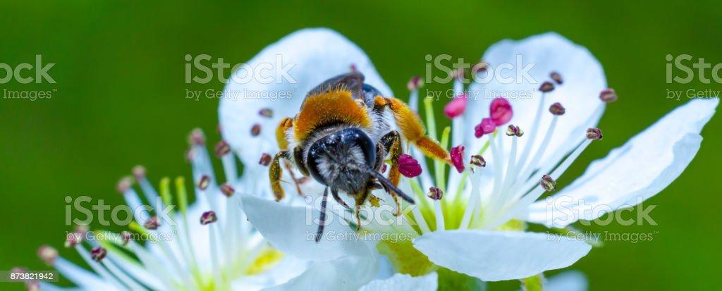 Honey bee on white cherry blossom stock photo