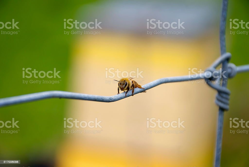 Honey Bee on Wire Fence stock photo