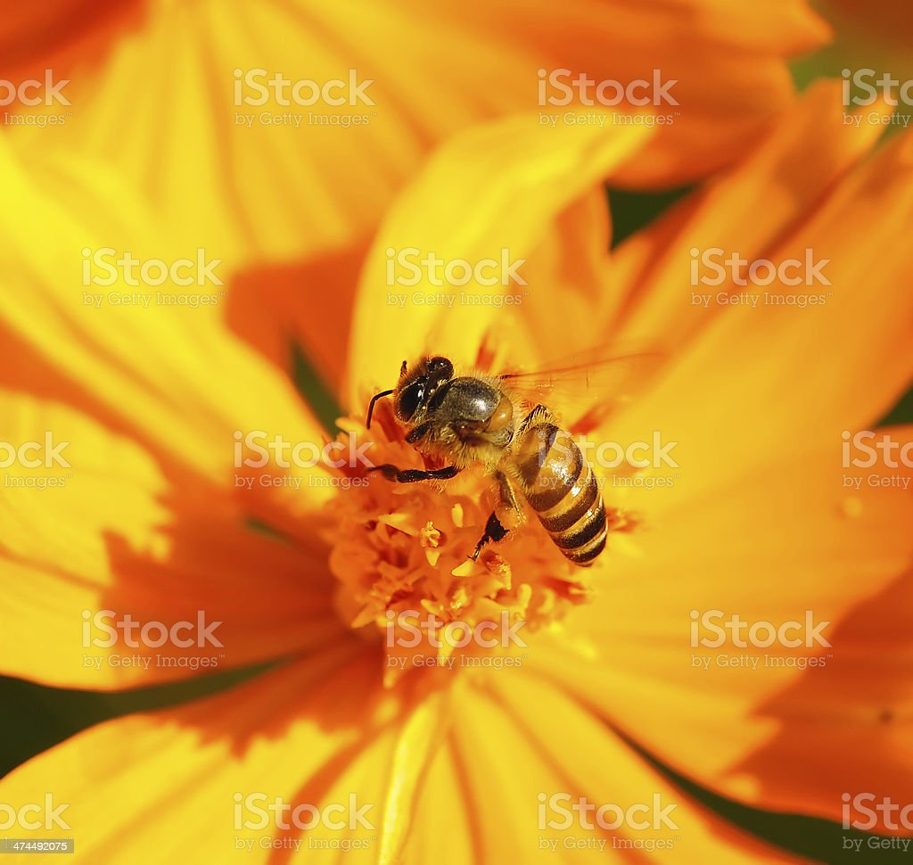 Honey Bee on Yellow Flower, Close Up Macro royalty-free stock photo