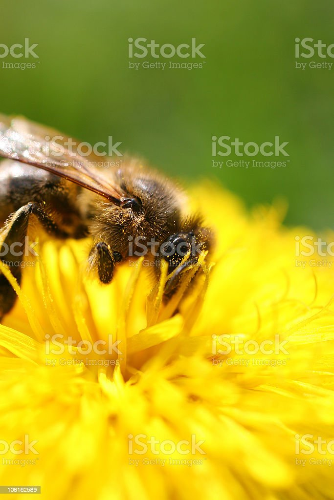 Honey bee on yellow flower stock photo