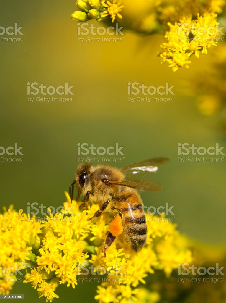 Honey bee on yellow flowers and collecting pollen. stock photo