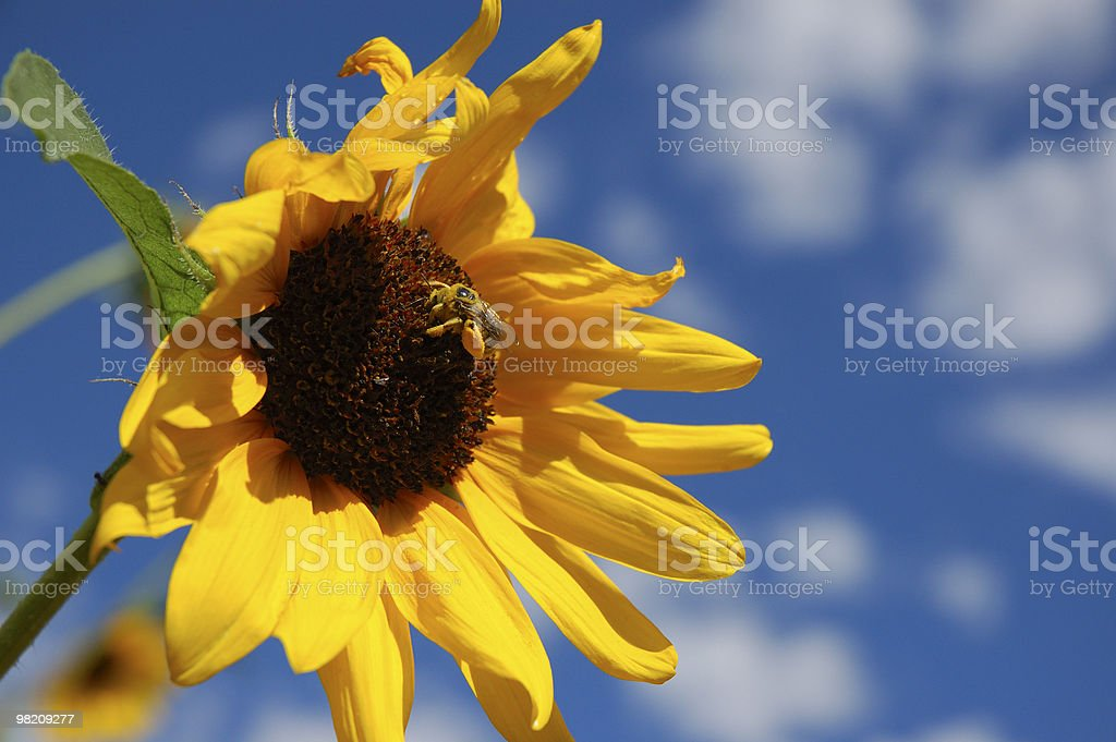 Honey Bee on Yellow Sun Flower Blue Sky and Clouds royalty-free stock photo
