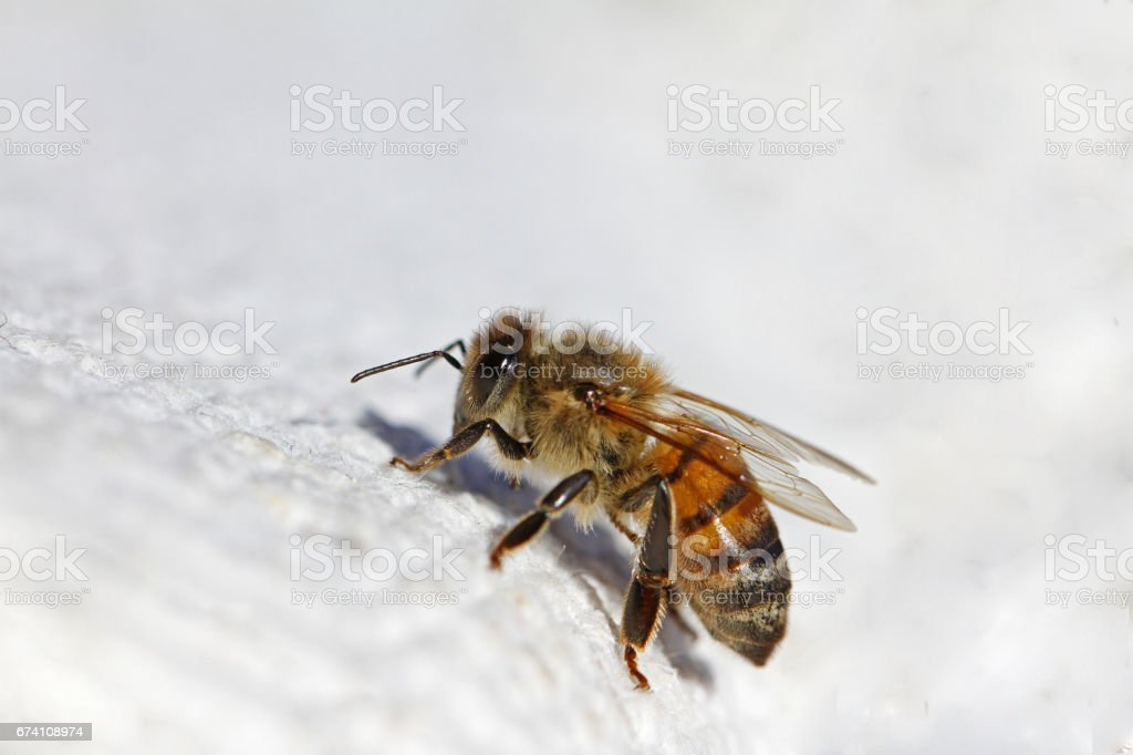 Honey bee or worker bee extreme close up Latin apis mellifera crawling on a white cloth in Italy in springtime stock photo
