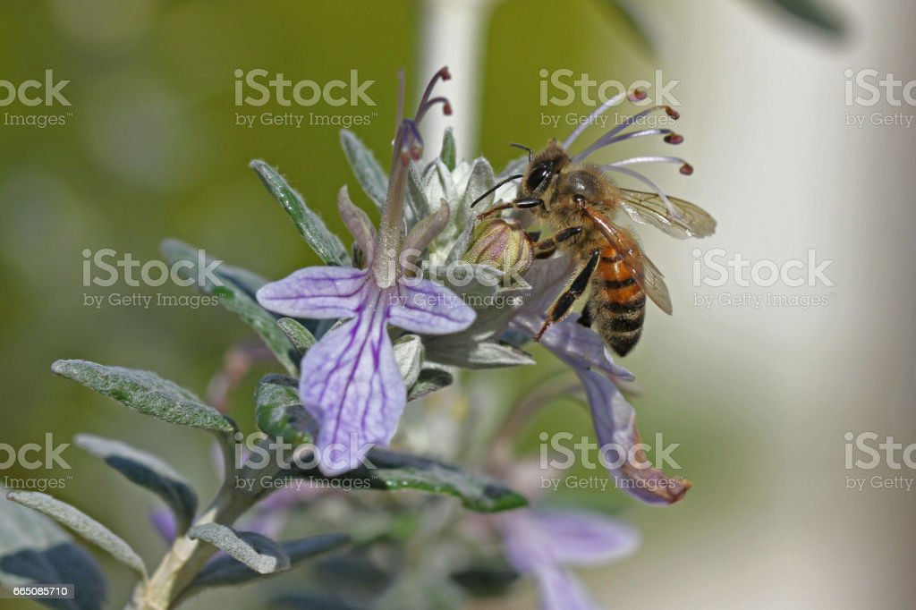 honey bee or worker very close up Latin apis mellifera collecting pollen on teucrium fruticans flower echinops bush or germander in Italy stock photo