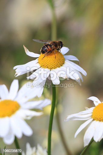Honey bee on a flower.