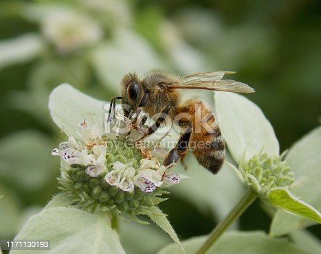 A Honey Bee hard at work pollinating a flower.