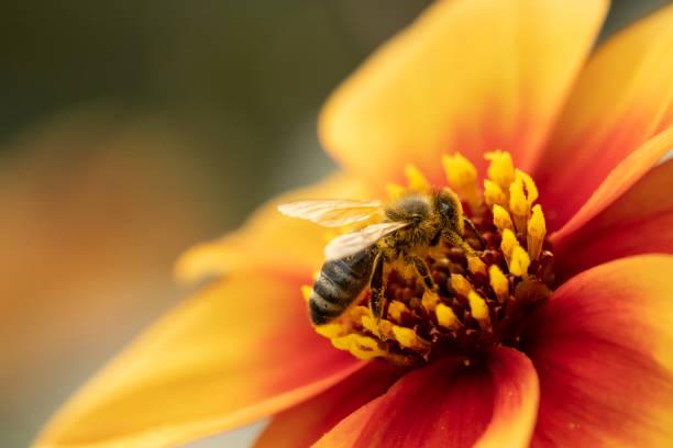 honigbiene - matthias gaberthüel stock-fotos und bilder