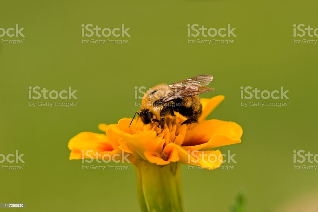Honey Bee royalty-free stock photo