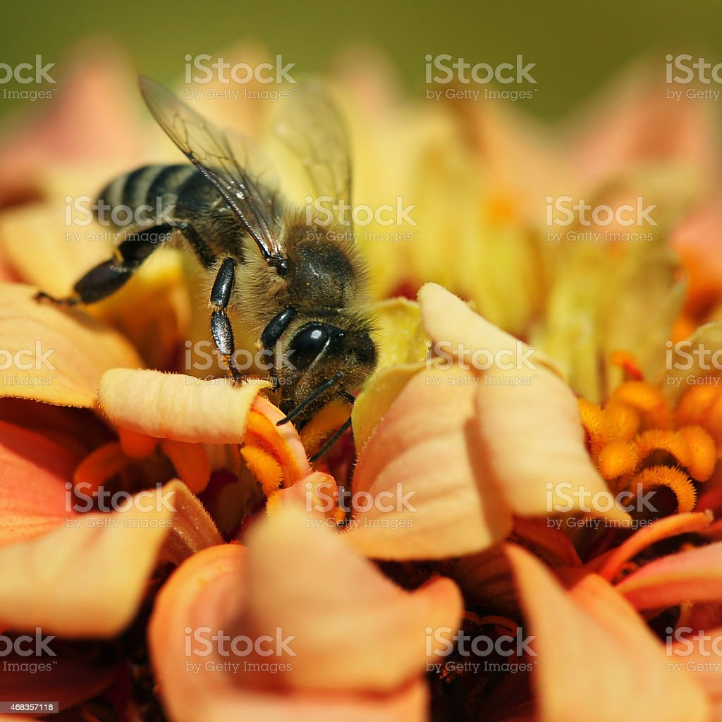 honey bee royalty-free stock photo